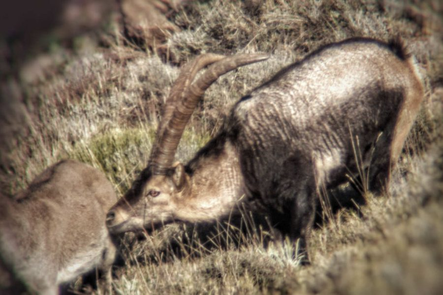 Southeastern Spanish Ibex