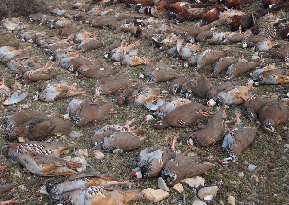 red partridges_ibex big game3