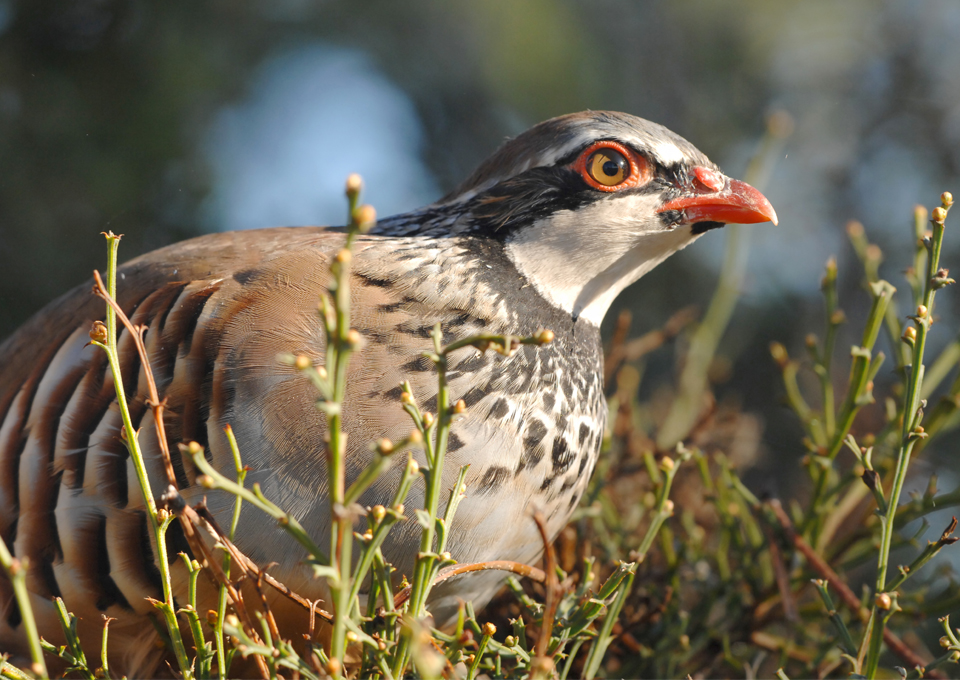 red partridges_ibex big game6